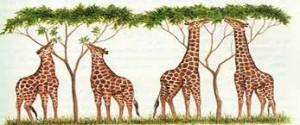 xirafas